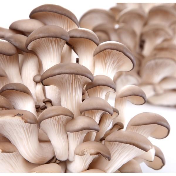 ostreatus-columbinus-mushroom-03-600x600